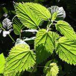 Brennesseljauche als natürlicher Rasendünger