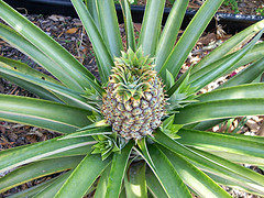 Eine Ananas selber anpflanzen - hier die Anleitung