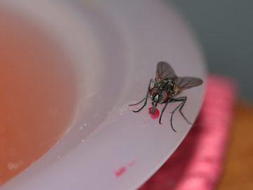 Fliegen, bzw. Fruchtfliegen fängt man am besten mit selbstgemachten Fliegenfallen