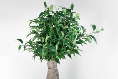 Ficus Ginseng pflegen - so geht´s