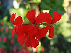 Geranien nach dem Überwintern richtig neu anpflanzen