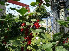Johannisbeeren richtig zurückschneiden - so erhöht sich der Ertrag der Früchte im nächsten Jahr