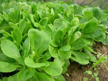 Feldsalat im eigenen Garten anbauen