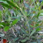 Einen Olivenbaum für den eigenen Garten kann kann man hervorragend in einem Kübel anpflanzen