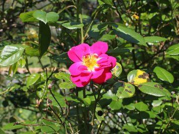 Rose mit Sternrußtau - Pilzkrankheiten bekämpfen