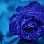 Eine Rose blau oder schwarz färben ist ganz einfach