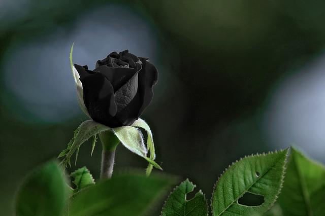 Eine Rose kann mit Tinte schwarz gefärbt werden