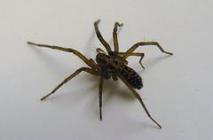 Spinnen aus dem Haus und der Wohnung fernhalten