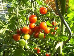 Tomaten ausgeizen - so wird´s gemacht!