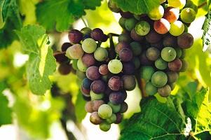 Wein im Garten anbauen und pflegen