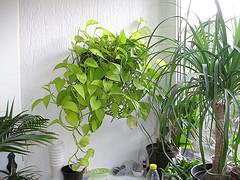 Zimmerpflanzen richtig gießen