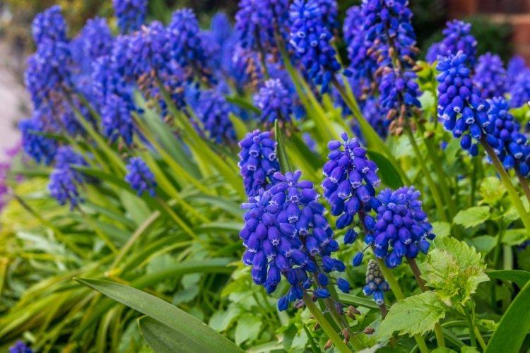 An welche Pflanzen gehen keine Wühlmäuse Armenische Traubenhyazinthen Muscari armeniacum