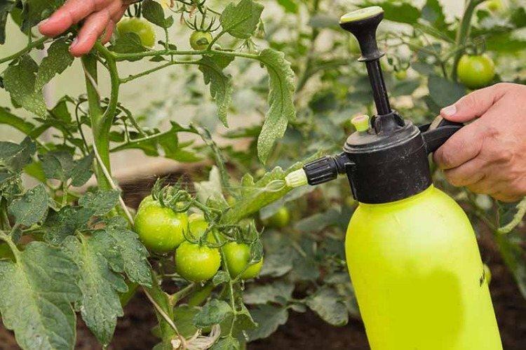 düngemittel für tomaten grün im frühen wachstumsstadium