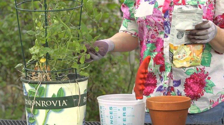 hobbygärtnerin pflegt tomatenpflanze mit nährstoffen aus düngemittel
