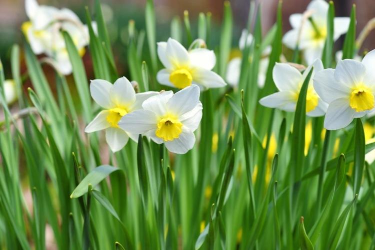 Narzissen als das beste Mittel gegen Wühlmäuse im Garten